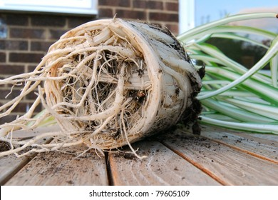 Pot bound plant root system close up