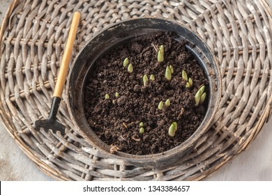 Pot with crocus sprouts and rakes on a gray table. Flat lay.