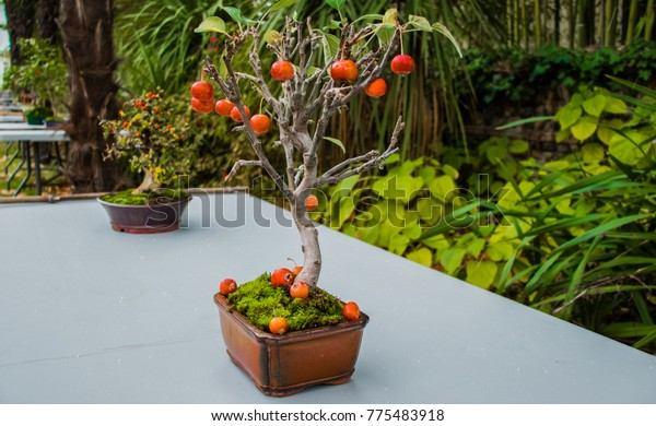 Pot with a dwarf apple with miniature apples.