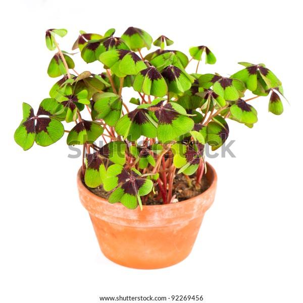 Pot Four Leaf Clover Plant St Stock Photo Edit Now 92269456