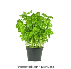 pot of fresh basil plant on white background
