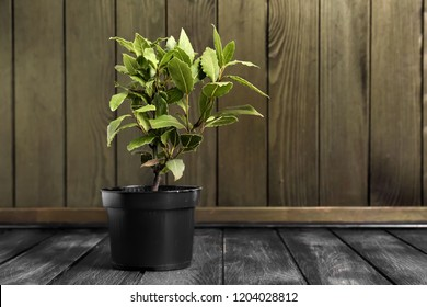 Pot with laurel tree on wooden table - Shutterstock ID 1204028812