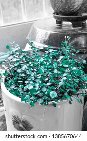 A pot of maidenhair vine / turquoise color extracted