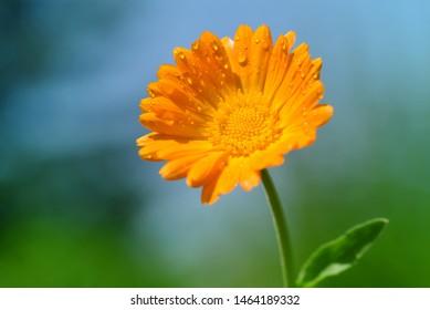 Pot Marigold (Calendula officinalis) on blur background. Orange flowering medicinal plant of the family Asteraceae.