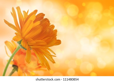 Pot marigolds (Calendula officinalis) on bokeh light effect background