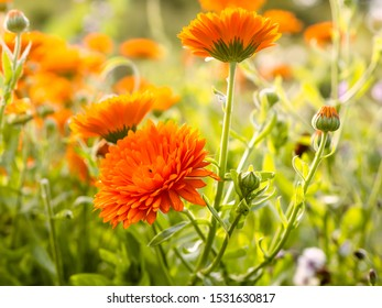 Pot marigolds or common marigolds, Calendula officinalis, low maintenance, colorful summer flowers blooming in a garden, close up with selective focus