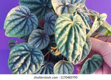 A pot of Peperomia plant on hand