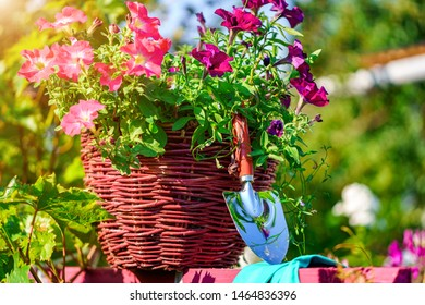 Pot with petunia in the home garden. Gardening and floriculture in the country. Grow flowers