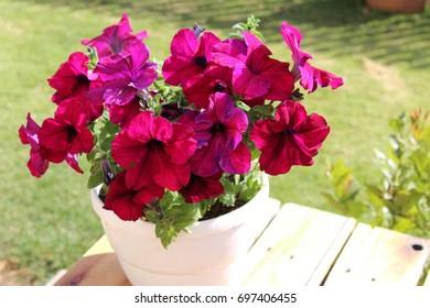 Pot of Pink Petunias in Bloom