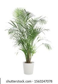 Pot with Ravenea rivularis plant isolated on white. Home decor - Shutterstock ID 1563247078