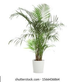 Pot with Ravenea rivularis plant isolated on white. Home decor - Shutterstock ID 1566436864