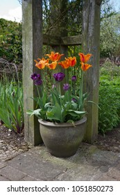 Pot of spring tulips adds color to the Englsih cottage garden