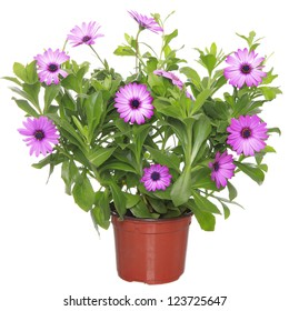 Pot with violet african daisy (Dimorphoteca, Osteospermum) flower
