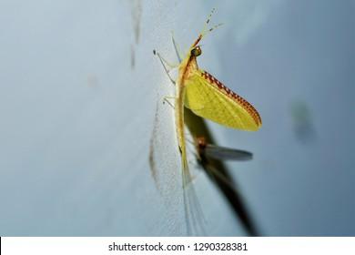 a Potamanthus formosus hacklegilled burrower mayfly, found in Sichuan, China.