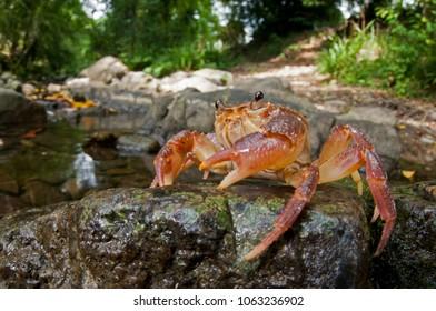 Potamon fluviatile (freshwater crab)