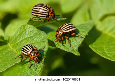 Potato bugs on foliage of potato in nature, natural background, close view