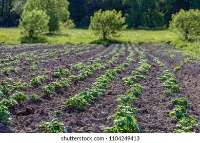 potato bushes on the garden in the village