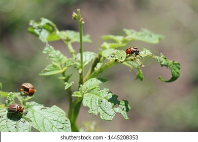 Potato cultivation destroyed by larvae and beetles of Colorado potato beetle (Leptinotarsa decemlineata), also known as the Colorado beetle, the ten-striped spearman, the ten-lined potato beetle