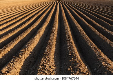 Potato field in the early spring with the sowing rows running to the horizon lit from one side at sunset time