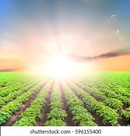Potato field with green shoots of potatoes, under blue sky
