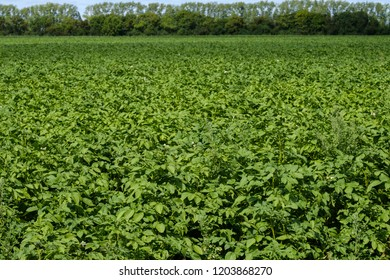 potato field with green potato shoots stretching to the horizon, on the horizon trees and the sky