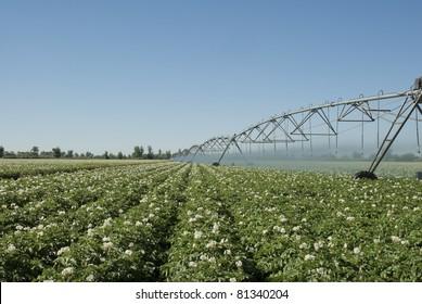 A potato field irrigated by a pivot sprinkler system.