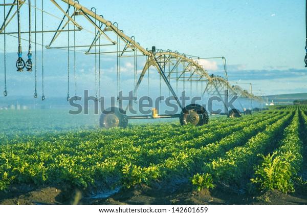 potato field irrigated by a pivot sprinkler system