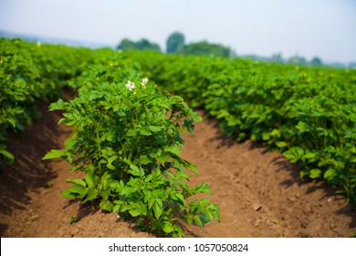 Potato field on a sunny summer day. Agriculture, cultivation of vegetables.