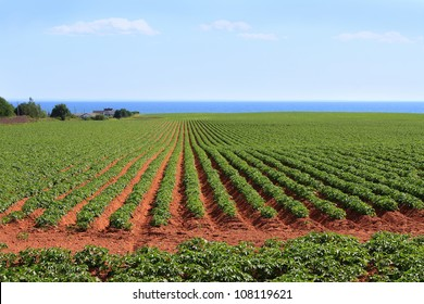 Potato field in the red sands of Prince Edward Island, Canada, with the Northumberland Strait in the background