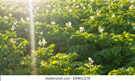 Potato field at sunrise. Green field of blooming potatoes.