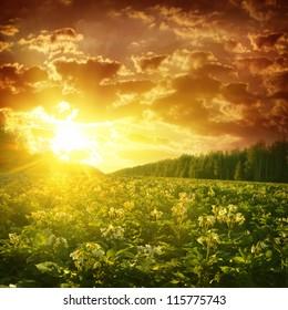 Potato field at sunset.