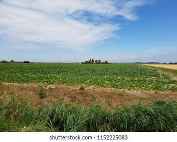 Potato field in the Wilde Veenen polder in Waddinxveen the Netherlands.
