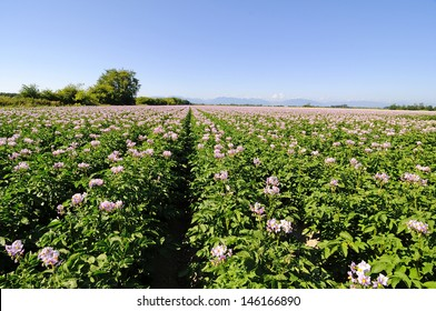 potato flowers blooming in the field