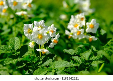 the potato flowers are white, blurred background the garden of the natural growing conditions