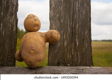Potato in the form of a man, a new crop