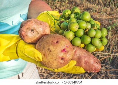 Potato fruits - berries and tubers. Potato seeds, agronomic selection. Fresh harvest from the garden. Large tubers of young potatoes and its berries in female hands. Potatoes in hands of a farmer.