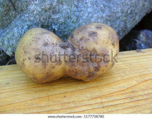 Potato Green Damaged Skin Cracked Grey Stock Photo (Edit Now