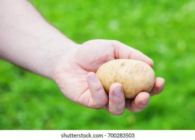 Potato, hand on natural background