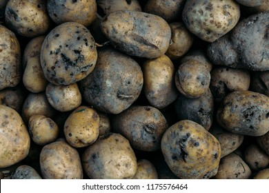 Potato harvest is destroyed by agricultural pests. Parasites destroy a crop in the field.
