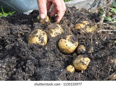Potato harvesting in garden