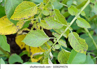 Potato leaf blight on maincrop potato foliage, a fungal problem Phytophthora Infestans and is a disease which causes spotting on late potato leaves.