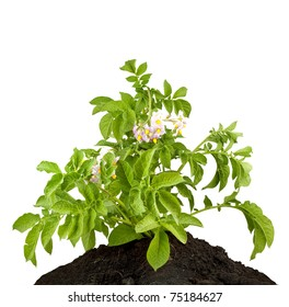 The potato with leaves isolated on a white background