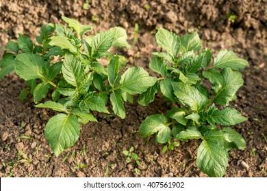 potato plant in the garden - selective focus