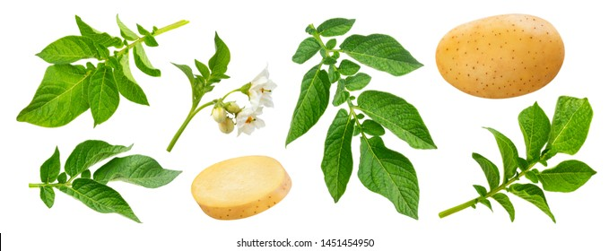 Potato plant and leaves isolated on white background with clipping path. Detailed foliage, blossom, flowers. Young potato tuber, whole and sliced. Starch containing vegetable