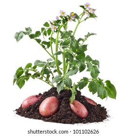 potato plant with tubers in soil dirt isolated on white