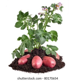 potato plant with  tubers in the soil dirt isolated on white