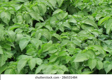 potato plant as very nice agricultural background