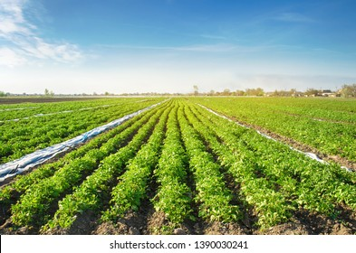 Potato plantations are grow on the field on a sunny day. Growing organic vegetables in the field. Vegetable rows. Agriculture. Farming. Selective focus