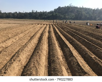 Potato planting of Thailand farmers