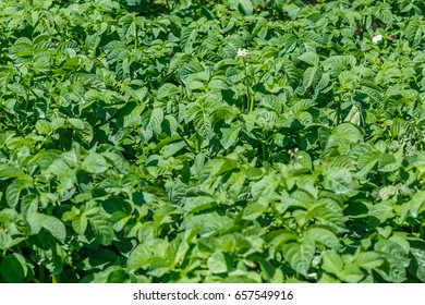 Potato plants as agricultural background
